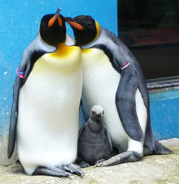 キングペンギンのヒナ