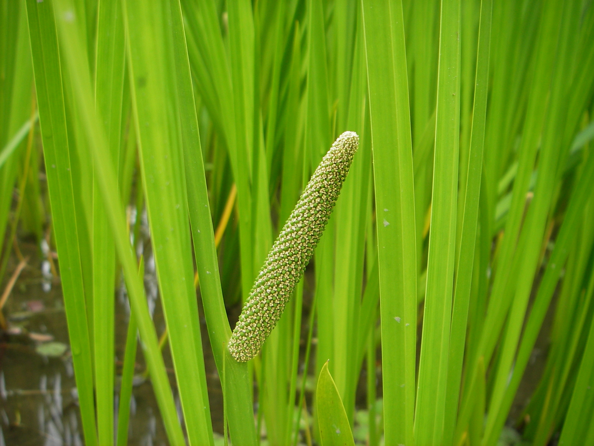 calamus chatrooms Acorus calamus (also called sweet flag or calamus, among many common names) is a species of flowering plant, a tall wetland monocot of the acoraceae family, in the.