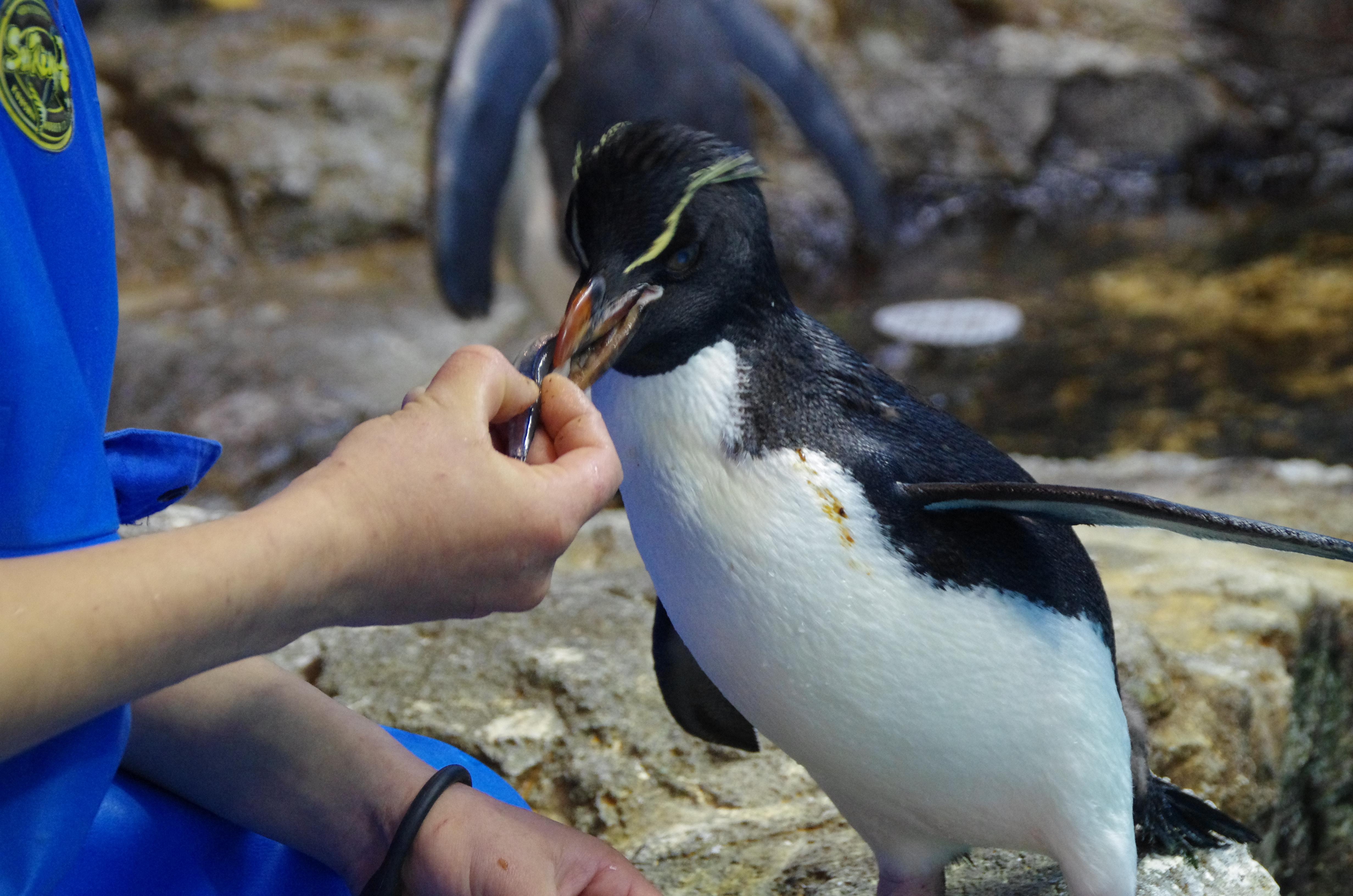 長崎ペンギン水族館のイワトビペンギン