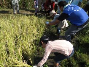①稲刈り体験の様子